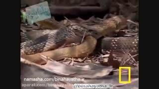 مار کبری در برابر مار موش خوار-نشنال جئوگرافیک