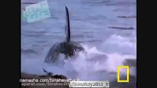 نهنگ قاتل در برابر شیر دریایی-نشنال جئوگرافیک