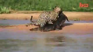 پلنگ و شکار یک تمساح (عجب صحنه ای شده)