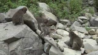 بچه میمون برفی