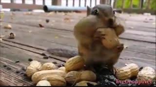 سنجاب های فوق العاده بامزه ی شکمو