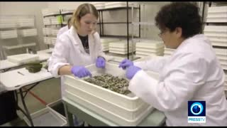 تلاش برای تولید ابریشم ضدگلوله با اصلاح ژنتیکی کرم ابریشم