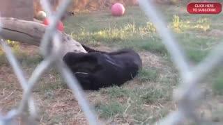 ویدیویی  از پلنگ سیاه / رسانه تصویری وی گذر