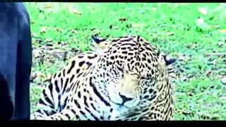 ویدیوی دیدنی از پلنگ سیاه و جگوار / رسانه تصویری وی گذر