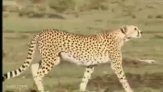 چیتا ماده و عکس العمل های فوق العاده اش در شکار - مجله دنیای حیوانات