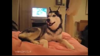 سگ هاسکی سخنگو - مجله دنیای حیوانات