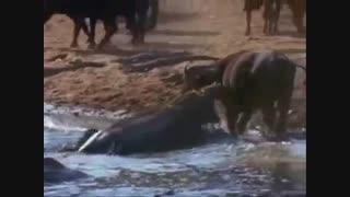 نبرد اسب آبی و کروکودیل / رسانه تصویری وی گذر