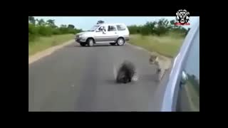 مبارزه دیدنی زرافه با گله شیرها! + کلی مبارزه های حیات وحشی دیگر