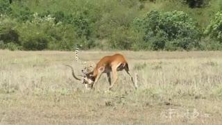 لحظه شکار آهو توسط  یوزپلنگ