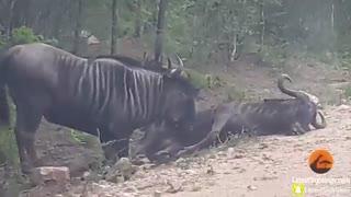 کمک به هم نوع در میان حیوانات