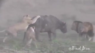 شکار بو فالو توسط  سلطان جنگل