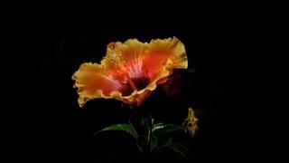 تایم لپس رویش گلهای زیبا / رسانه تصویری وی گذر