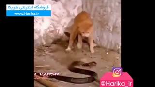 نبرد بین مار افعی و گربه