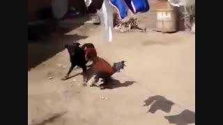 دعوای سگ و خروس 1