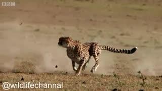 صحنه هایی زیبا از شکار بچه گوزن یالدار توسط یوز پلنگ