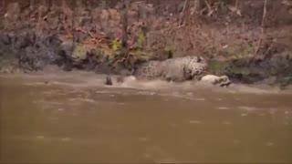 حمله  پلنگ به تمساح