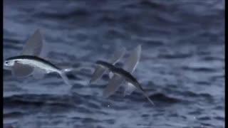 کلیپی دیدنی از پرواز ماهی های پرنده !