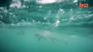 حمله نهنگ های قاتل به کوسه سفید !