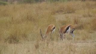 شکار آهو توسط یوز پلنگ