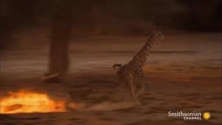 حمله ی 5 شیر به یک زرافه جوان