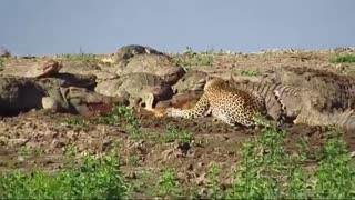 حمله کروکودیلها به آهوها و دست درازی پلنگ به شکار آنها!