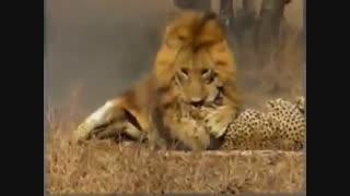 حمله فوق العاده شیر نر به یوزپلنگ