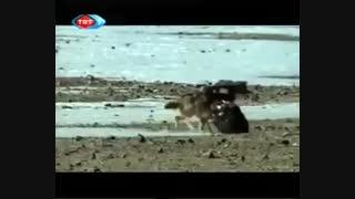 شکار گرگ توسط عقاب طلایی !