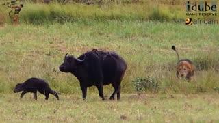 کشته شدن بوفالو ماده توسط شیر ها ، جلوی چشمان فرزندش !