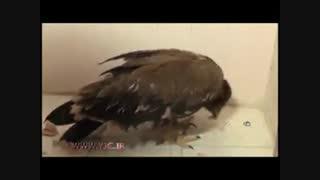 رهاسازی عقاب پس از درمان