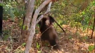 شکار و خوردن میمون توسط شامپانزه ها