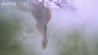عقاب و ماهی
