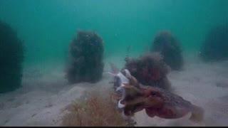 لحظه دیدنی شکار ماهی توسط موجودی به نام ماهی مرکب